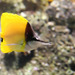 Longnose Butterflyfishes - Photo (c) William Leiwakabessy, some rights reserved (CC BY-NC-ND)