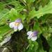 Mazaceae - Photo (c) Phuentsho, algunos derechos reservados (CC BY-NC-SA)
