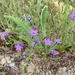 Gilia tenuiflora arenaria - Photo (c) Joe Miller, algunos derechos reservados (CC BY-NC)
