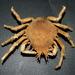 Cangrejos Araña - Photo (c) Bill & Mark Bell, algunos derechos reservados (CC BY-NC-SA)