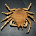 Typical Spider Crabs - Photo (c) Bill & Mark Bell, some rights reserved (CC BY-NC-SA)