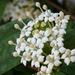 Reevesia thyrsoidea - Photo (c) 106611639464075912591, algunos derechos reservados (CC BY-NC-SA), uploaded by Jonathan Hiew