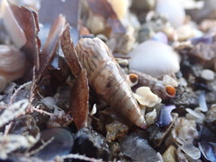 Banded Kelp Shell