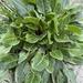 Beta vulgaris - Photo (c) runningrob, μερικά δικαιώματα διατηρούνται (CC BY-NC)