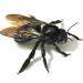 Xylocopa tranquebarorum - Photo (c) Observações Naturalistas, algunos derechos reservados (CC BY-NC)