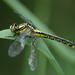 Gomphus vulgatissimus - Photo (c) Ray Scally, algunos derechos reservados (CC BY-NC)
