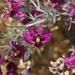 Krameria erecta - Photo (c) lonnyholmes, osa oikeuksista pidätetään (CC BY-NC)