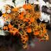 Slender Orange-Bush - Photo (c) Ken-ichi Ueda, some rights reserved (CC BY)