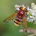 Volucella - Photo (c) Anne Sorbes, algunos derechos reservados (CC BY-NC-SA)