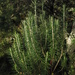 Andean Rosemary - Photo (c) Mateo Hernandez Schmidt, some rights reserved (CC BY-NC-SA)