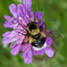 Volucella bombylans - Photo (c) Anne Sorbes, some rights reserved (CC BY-NC-SA)
