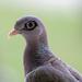 Patagioenas corensis - Photo (c) Robin Gwen Agarwal,  זכויות יוצרים חלקיות (CC BY-NC)