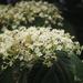 Viburnum luzonicum - Photo (c) 水牛,  זכויות יוצרים חלקיות (CC BY-NC)