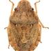 Sciocoris persimilis - Photo (c) Barış Çerçi, algunos derechos reservados (CC BY-NC)