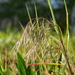 Cheatgrass - Photo (c) Alexis, some rights reserved (CC BY)