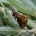 Orvasca semifusca - Photo (c) Kelly,  זכויות יוצרים חלקיות (CC BY-NC)
