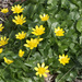 Lesser Celandine - Photo (c) Bernard Picton, some rights reserved (CC BY)