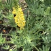 Dense-flowered Lupine - Photo (c) blockpack, some rights reserved (CC BY-NC)