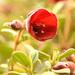 Sietecueros Rojo - Photo (c) Steve King, algunos derechos reservados (CC BY-NC)