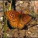 Speyeria coronis - Photo (c) Joe McKenna, alguns direitos reservados (CC BY)