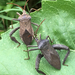 Florida Leaf-footed Bug - Photo (c) Alejandro Santillana, some rights reserved (CC BY-NC)