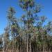 Eucalyptus melanophloia melanophloia - Photo (c) Dean Nicolle, osa oikeuksista pidätetään (CC BY-NC)