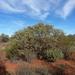 Eucalyptus websteriana - Photo (c) Dean Nicolle, algunos derechos reservados (CC BY-NC)