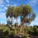 Eucalyptus loxophleba lissophloia - Photo (c) Dean Nicolle, μερικά δικαιώματα διατηρούνται (CC BY-NC)