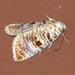 Diastema tigris - Photo (c) Monica Krancevic,  זכויות יוצרים חלקיות (CC BY-NC)