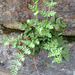Blunt Woodsia - Photo (c) Susan J. Hewitt, some rights reserved (CC BY-NC)