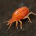Bdellidae - Photo (c) Ryosuke Kuwahara, alguns direitos reservados (CC BY-NC)