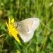 Coenonympha california - Photo (c) Gina Farr, algunos derechos reservados (CC BY-NC)