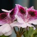 Pelargonium × domesticum - Photo (c) Steve King, μερικά δικαιώματα διατηρούνται (CC BY-NC)