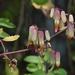 Kalanchoe pinnata - Photo (c) Jan Ho, μερικά δικαιώματα διατηρούνται (CC BY-NC)