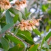 Broad-leaved Paperbark - Photo (c) Greg Maher, some rights reserved (CC BY-NC)