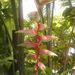 Heliconia chartacea - Photo (c) 106611639464075912591, osa oikeuksista pidätetään (CC BY-NC-SA), uploaded by Jonathan Hiew