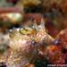 "Aplysia parvula - Photo (c) Raymondâ""¢,  זכויות יוצרים חלקיות (CC BY-NC-ND)"