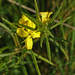 Yellow Sundrops - Photo (c) Aaron Carlson, some rights reserved (CC BY-SA), uploaded by aarongunnar