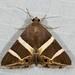 Grammodes oculicola - Photo (c) dhfischer, algunos derechos reservados (CC BY-NC)