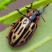 Escarabajo de Las Hojas del Álamo - Photo (c) Sean McCann, algunos derechos reservados (CC BY-NC-SA)
