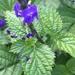 Stachytarpheta cayennensis - Photo (c) alstanford, algunos derechos reservados (CC BY-NC)