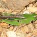 Chortophaga viridifasciata viridifasciata - Photo (c) Judy Gallagher,  זכויות יוצרים חלקיות (CC BY), uploaded by Judy Gallagher
