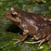 Miguel's Ground Frog - Photo (c) Felipe Rabanal, some rights reserved (CC BY)