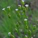 Silene antirrhina - Photo (c) Aaron Carlson, algunos derechos reservados (CC BY-SA), uploaded by aarongunnar