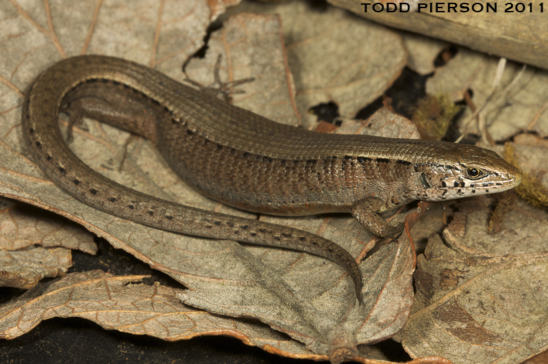Morelet's Alligator Lizard - Photo (c) Todd Pierson, some rights reserved (CC BY-NC-SA)