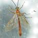 Enicospilus americanus-complex - Photo (c) Monica Krancevic,  זכויות יוצרים חלקיות (CC BY-NC)
