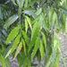 Polyalthia longifolia - Photo (c) 106611639464075912591, μερικά δικαιώματα διατηρούνται (CC BY-NC-SA), uploaded by Jonathan Hiew