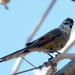 Plain-mantled Tit-Spinetail - Photo (c) Amilcar, some rights reserved (CC BY-NC)