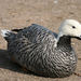Emperor Goose - Photo (c) Lamerie, some rights reserved (CC BY-NC)