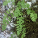 Woodsia alpina - Photo (c) Samuel Brinker,  זכויות יוצרים חלקיות (CC BY-NC)